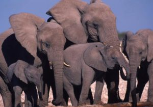 African wildlife organisations strengthen fight against illegal ivory trade